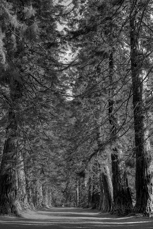 Amongst The Giant Redwoods Dunoon