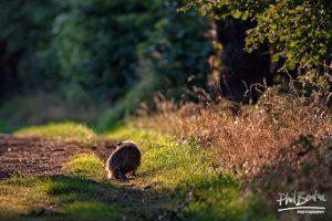 Strolling Badger