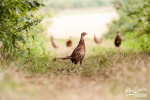 Young Pheasants