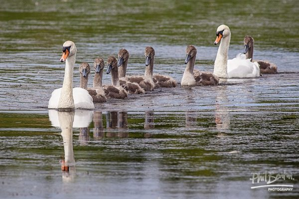 This photo shows a family of swans gliding across a lake with the children in a line, one behind another and the parents on either side