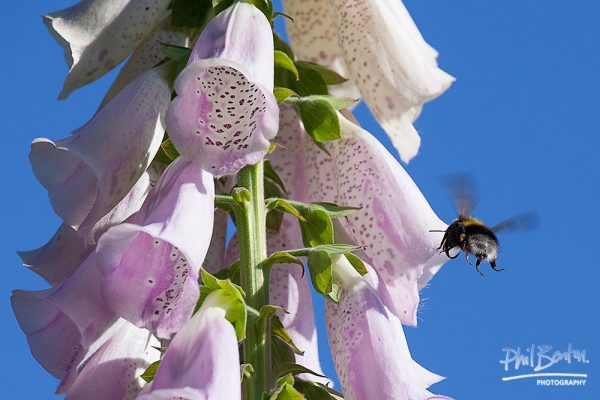 This photo shows a bee flying towards a pretty foxglove flower