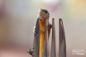 This photo shows a lizard gripping on to the prongs of a fork