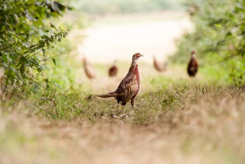 Young Pheasants